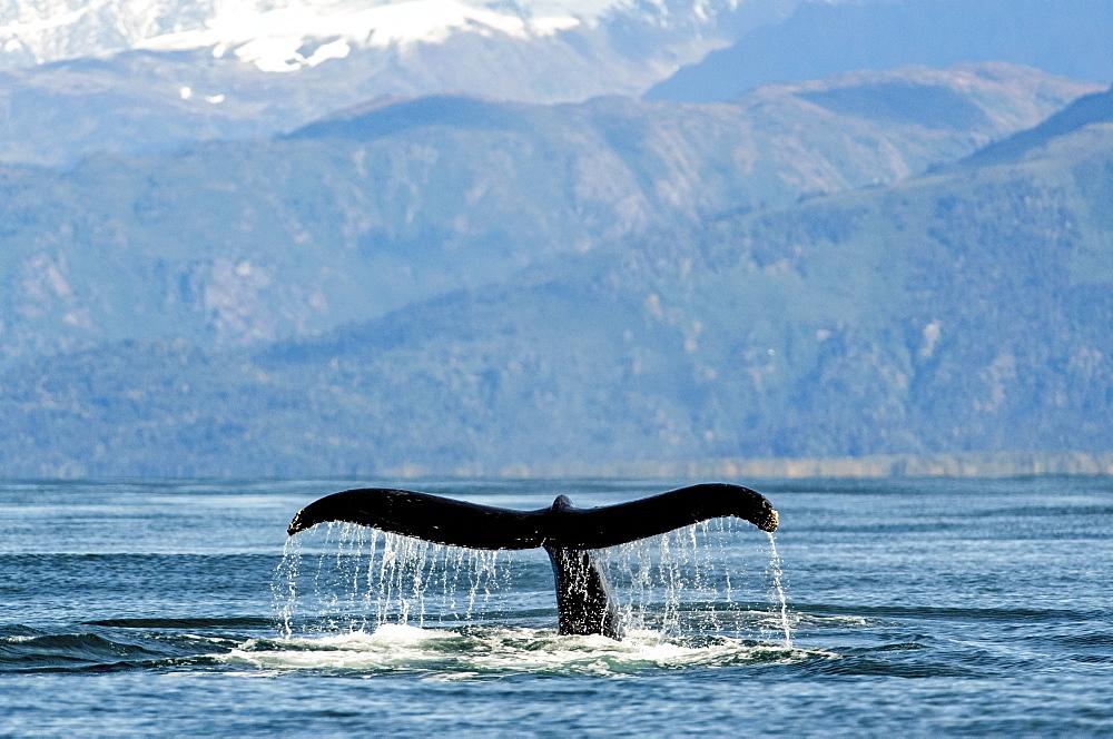 Humpback whale (Megaptera novaeangliae) fluke along the coast of Kachemak Bay, Homer, Alaska, United States of America