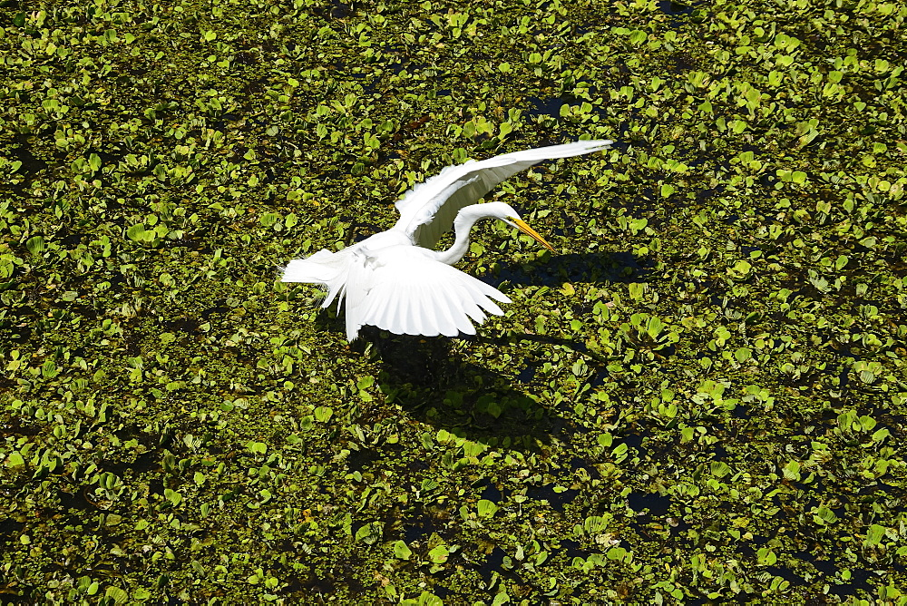Great egret (Ardae alba) landing on a swamp, Sarasota County, Florida, United States of America