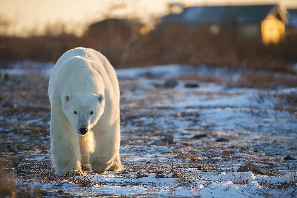 Polar bear (Ursus maritimes) walking toward the camera at dusk, Churchill, Manitoba, Canada