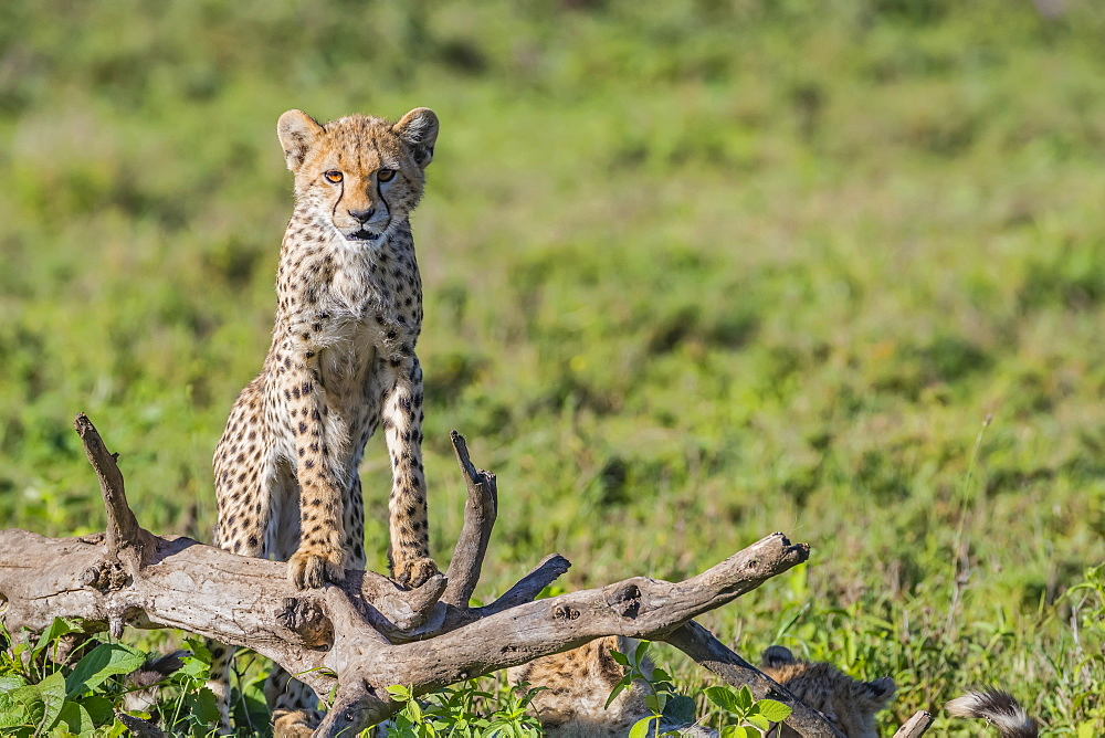 Cheetah (Acinonyx jubatus) standing on a dead tree, Ndutu, Tanzania