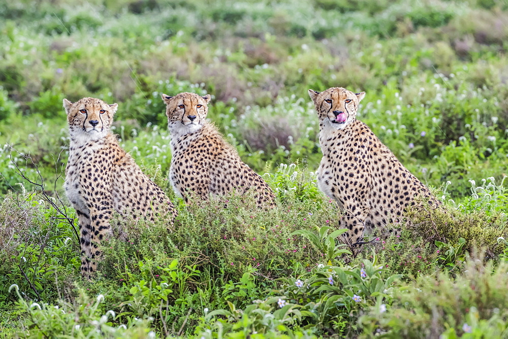 Three cheetahs (Acinonyx jubatus) sitting in a row, Ndutu, Tanzania