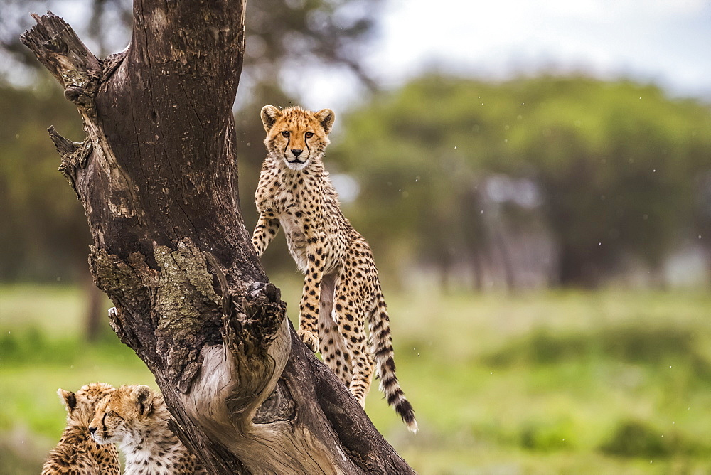 Cheetah (Acinonyx jubatus) in a tree, Ndutu, Tanzania