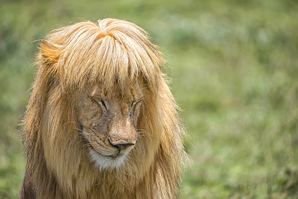 Male lion (panthera Leo) with great hair, Ndutu, Tanzania