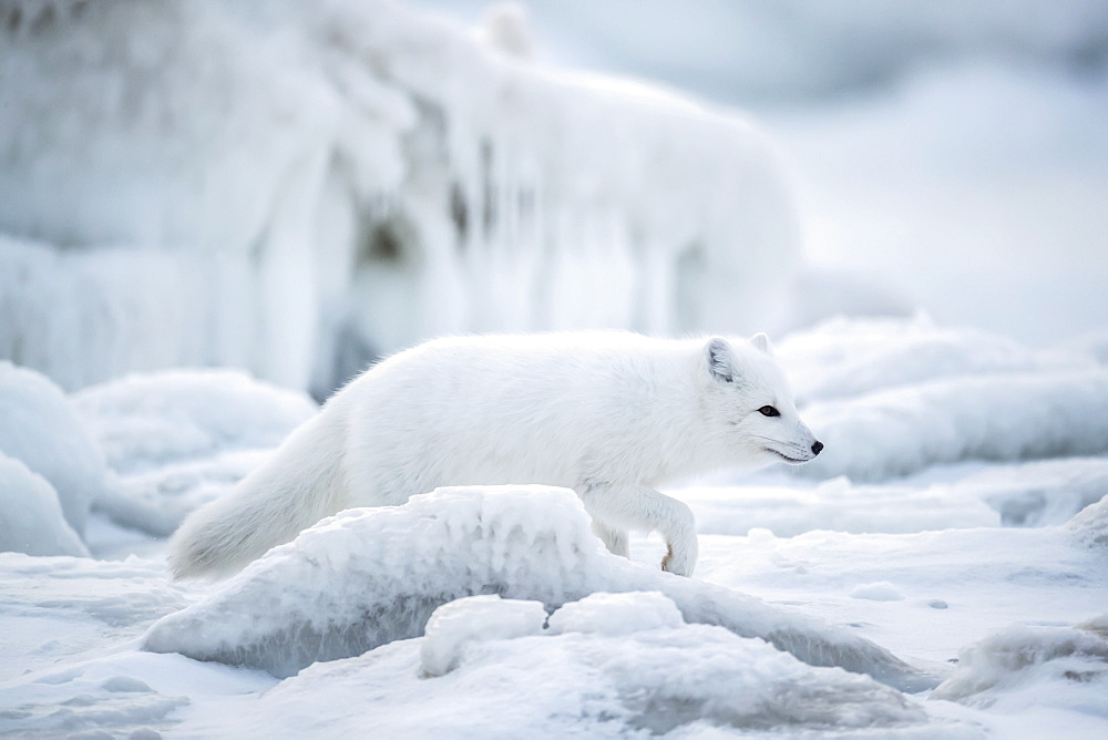 Arctic fox (Vulpes lagopus) walking through the ice chunks on Hudson Bay, Churchill, Manitoba, Canada