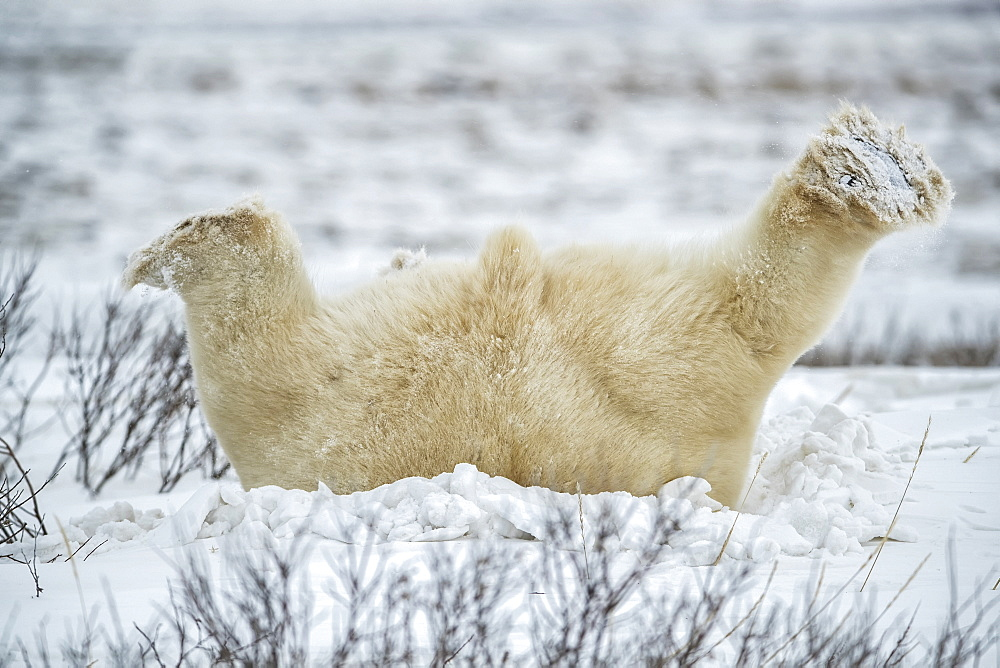 Polar bear (Ursus maritimus) lying down playing in the snow, Churchill, Manitoba, Canada