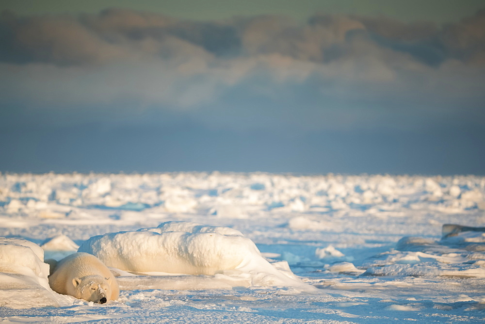 Polar bear (Ursus maritimus) lying in the snow sleeping at sunset, Churchill, Manitoba, Canada