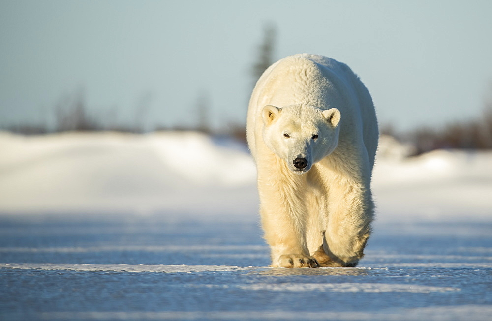 Polar bear (Ursus maritimus) walking on the ice, Churchill, Manitoba, Canada