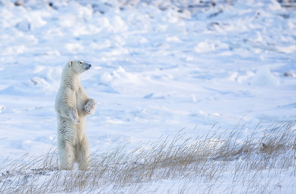 Polar bear (Ursus maritimus) standing in the snow looking beautiful, Churchill, Manitoba, Canada