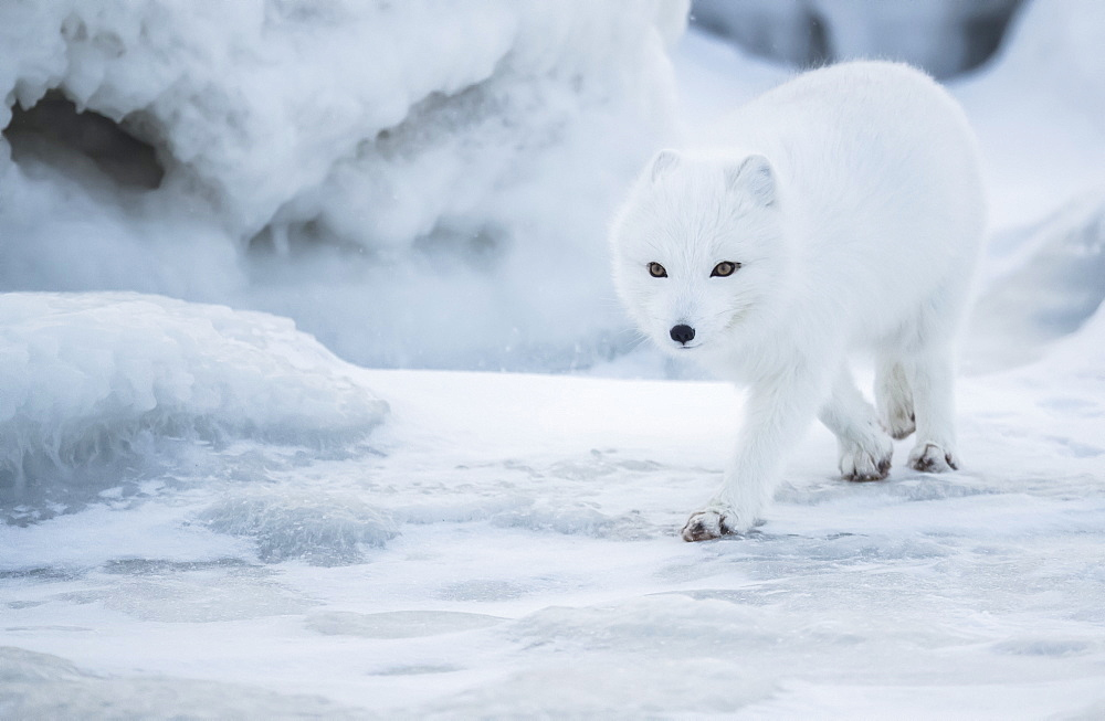 Arctic fox (Vulpes lagopus) walking in the snow, Churchill, Manitoba, Canada