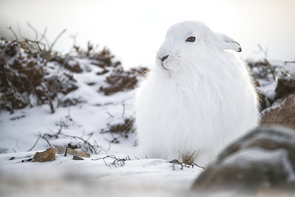 Arctic hare (Lepus arcticus) in the snow, Churchill, Manitoba, Canada