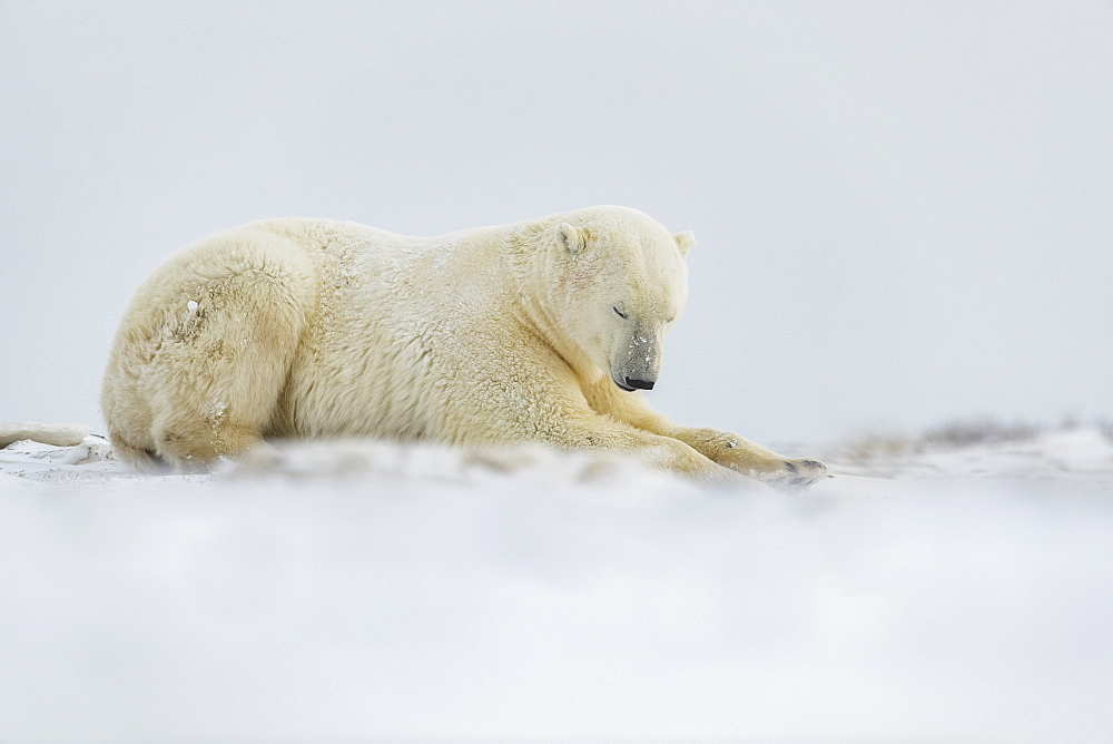 Polar bear (Ursus maritimus) laying in the snow, Churchill, Manitoba, Canada