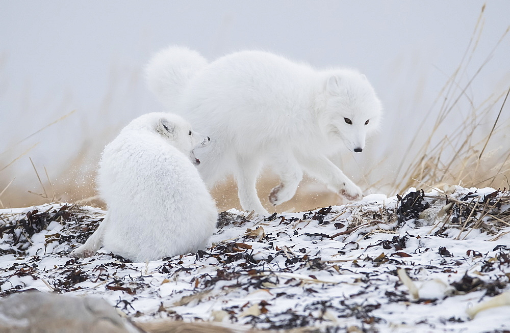 Arctic foxes (Vulpes lagopus) playing around in the snow on the shores of Hudson Bay, Churchill, Manitoba, Canada