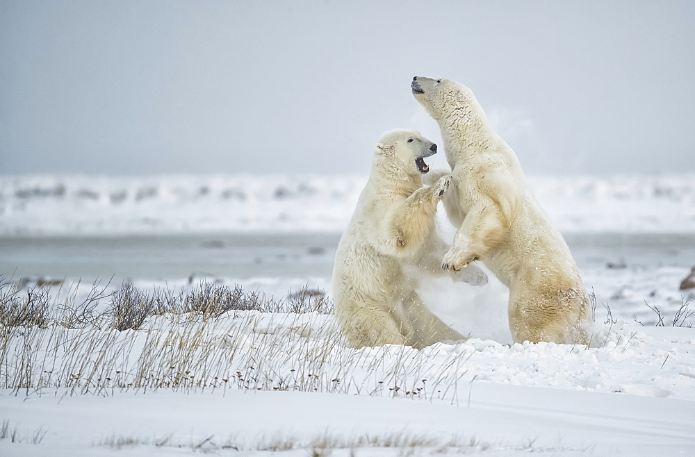 Polar bears (Ursus maritimus) play sparring while waiting for the ice to form on Hudson Bay, Churchill, Manitoba, Canada