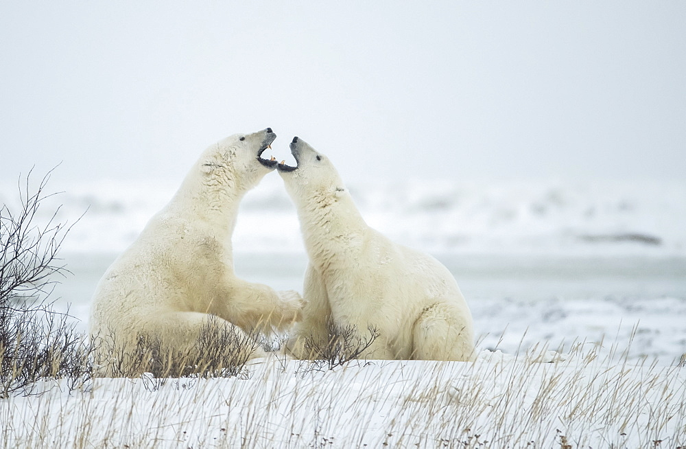 Polar bears (Ursus maritimus) 'jawing' each other during their play sparring, Churchill, Manitoba, Canada