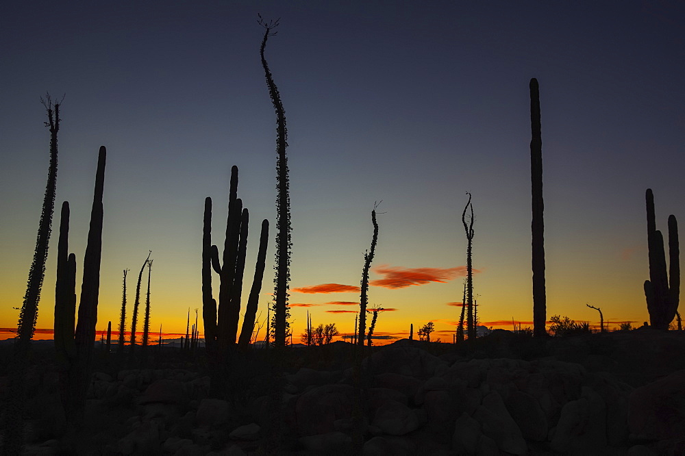 Silhouetted cactus plants in a glowing sunset, Catavina, Baja California, Mexico