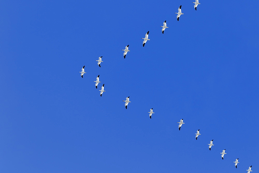 Snow geese (Anser caerulescens) in formation during migration, Klamath Basin National Wildlife Refuge, Merrill, Oregon, United States of America
