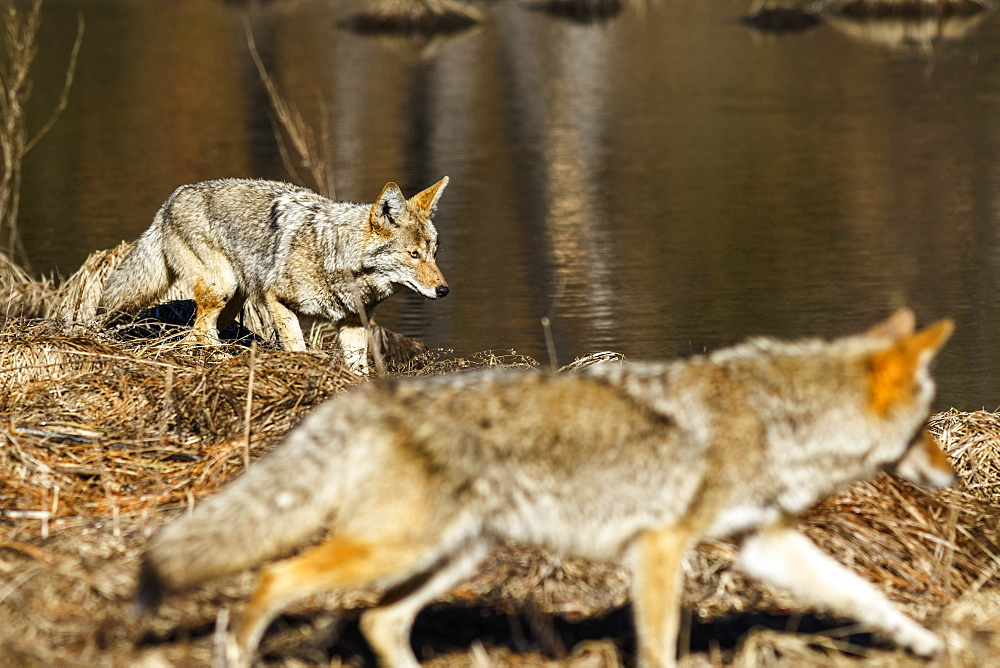 Coyote (Canis latrans) hunting in Yosemite Valley, Yosemite National Park, California, United States of America