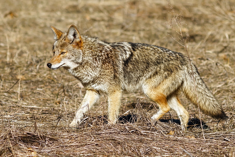 Coyote (Canis latrans) hunting in Yosemite Valley, Yosemite National Park, California, United States of America - 1116-48544