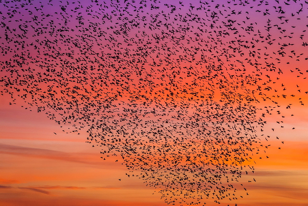 Murmuration of starlings at dusk, RSPB Reserve Minsmere, Suffolk, England