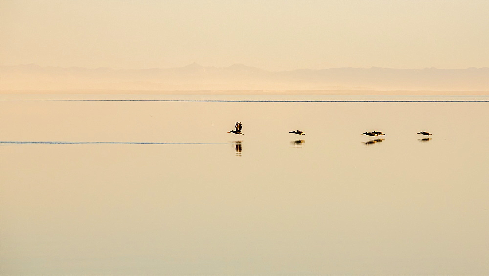 Pelicans flying low with their reflections on the tranquil surface of water, Point Roberts, California, United States of America
