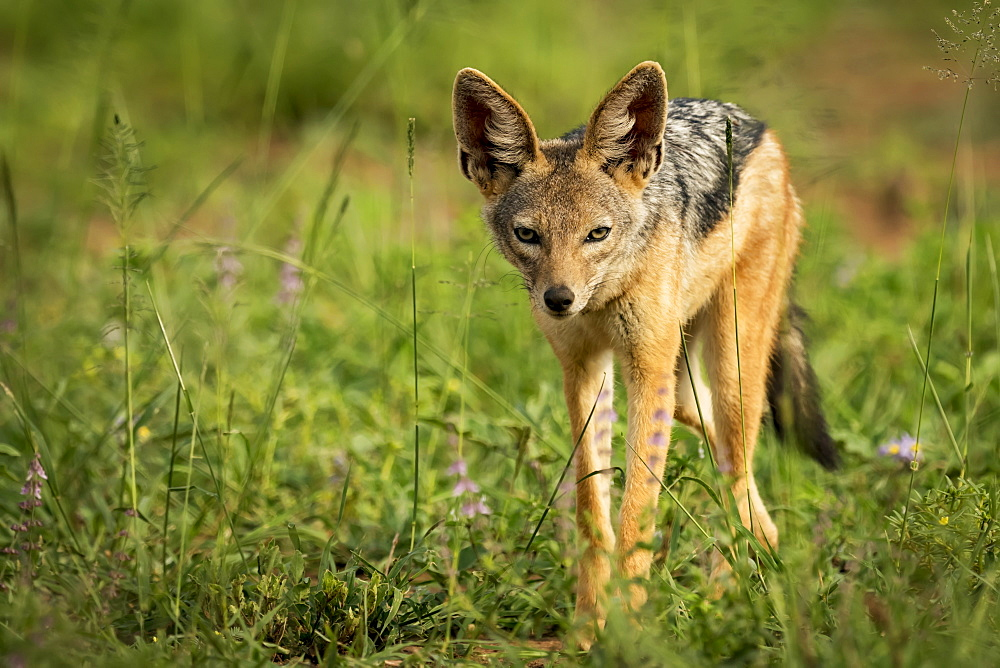 Silver-backed jackal (Canis mesomelas) stands in sunshine among flowers, Serengeti National Park, Tanzania