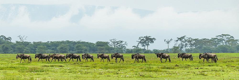 Line of white-bearded wildebeest (Connochaetes taurinus) cross grassy meadow, Ngorongoro Crater, Tanzania