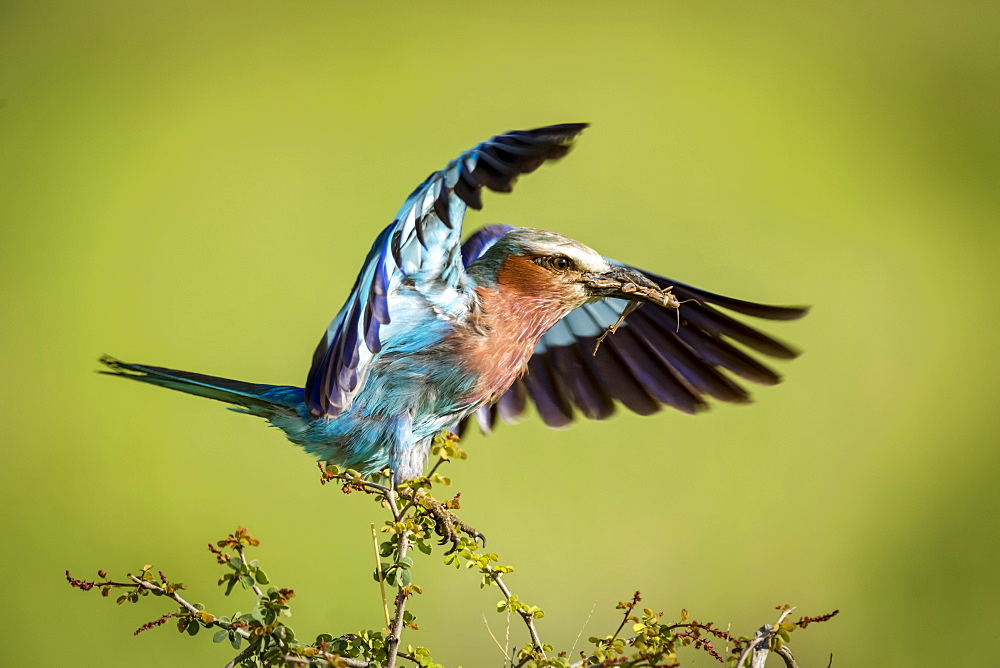 Lilac-breasted roller (Coracias caudatus) lands on branch carrying grasshopper, Serengeti National Park,, Tanzania