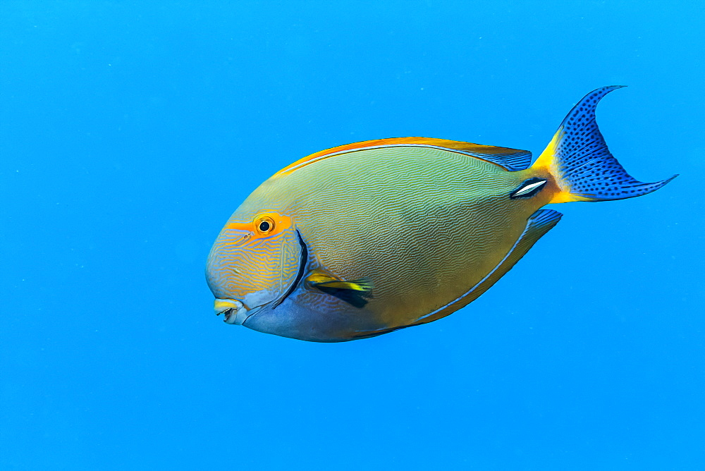 An Eyestripe Surgeonfish (Acanthurus dussumieri) swims by in the bright blue Pacific Ocean water off the Kona coast, Island of Hawaii, Hawaii, United States of America
