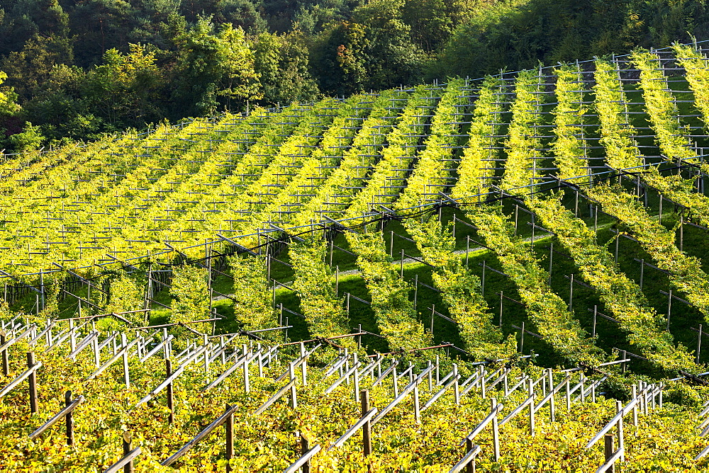 Rows of grapevines on rolling hills, Calder, Bolzano, Italy