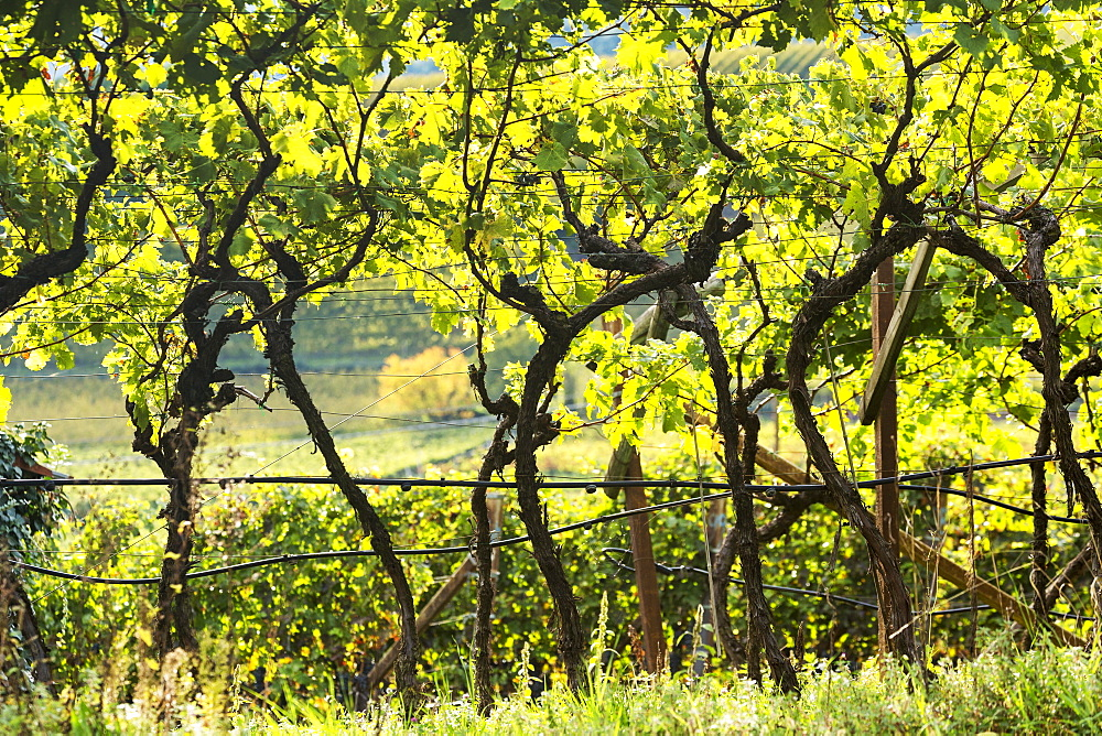 Rows of grapevines in a vineyard, Calder, Bolzano, Italy - 1116-48677