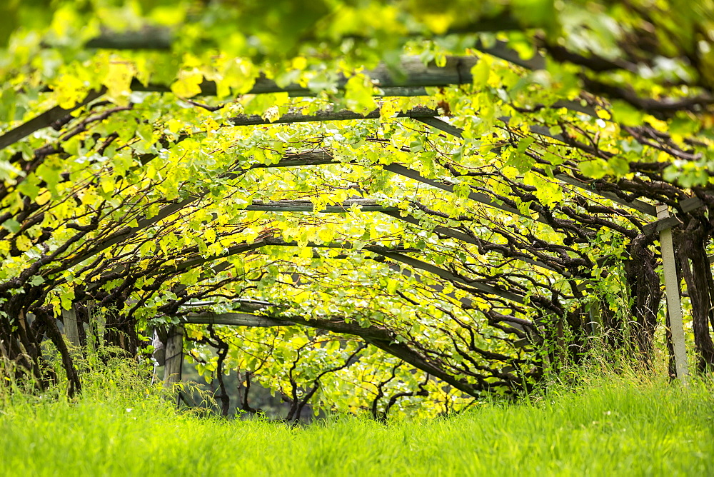 Artist canopy of a row of grape vines with grass growing underneath, Caldaro, Bolzano, Italy