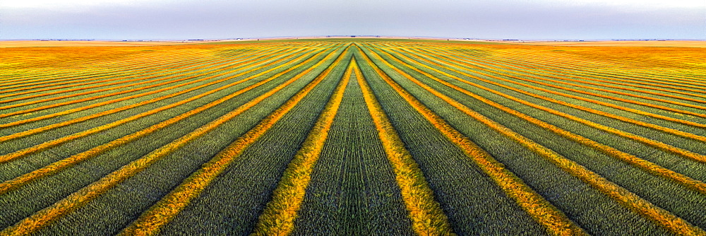 Artistic aerial views of canola harvest lines glowing at sunset, Blackie, Alberta, Canada
