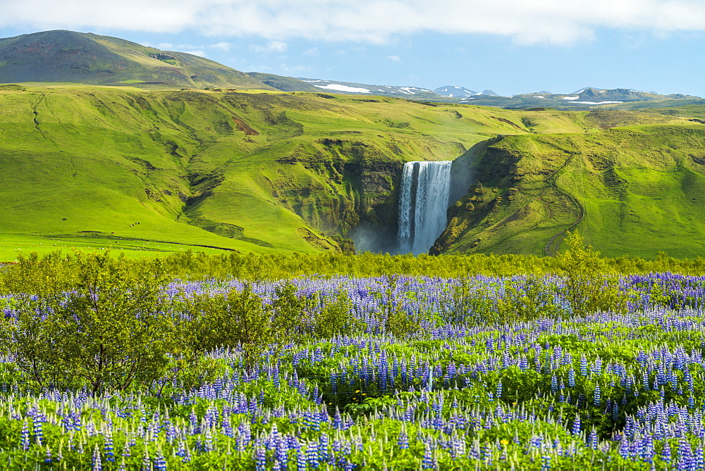 Lupins bloom in front of Skogafoss waterfall, Skoga, Iceland