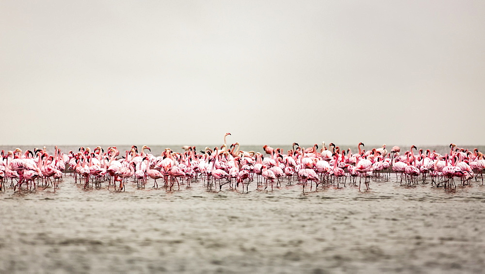 A large flock of flamingos standing in the shallow water of Walvis Bay, Sossusvlei, Hardap Region, Namibia
