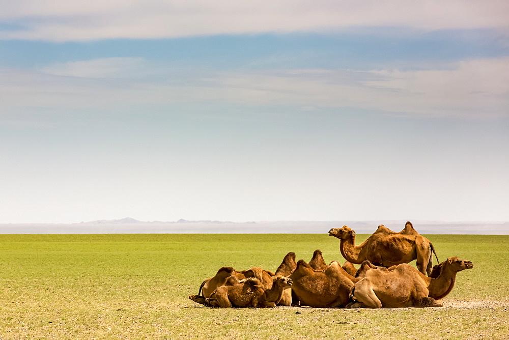 Camels on the Gobi Desert, Ulaanbaatar, Ulaanbattar, Mongolia