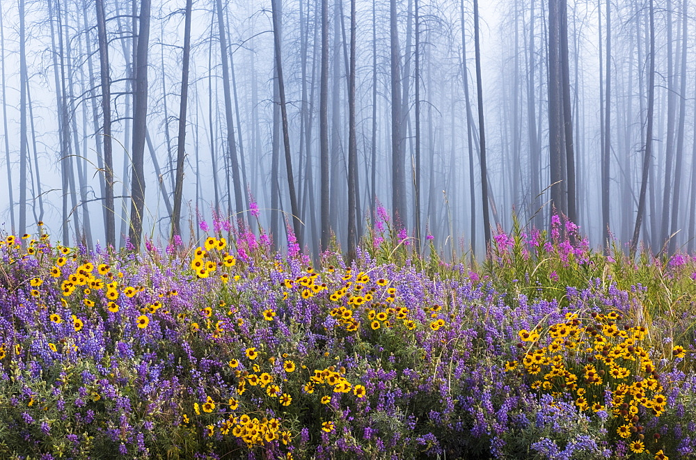 Kettle River Recreation Area bursting with wildflowers after a fire destroyed much of the forest in a fire, British Columbia, Canada