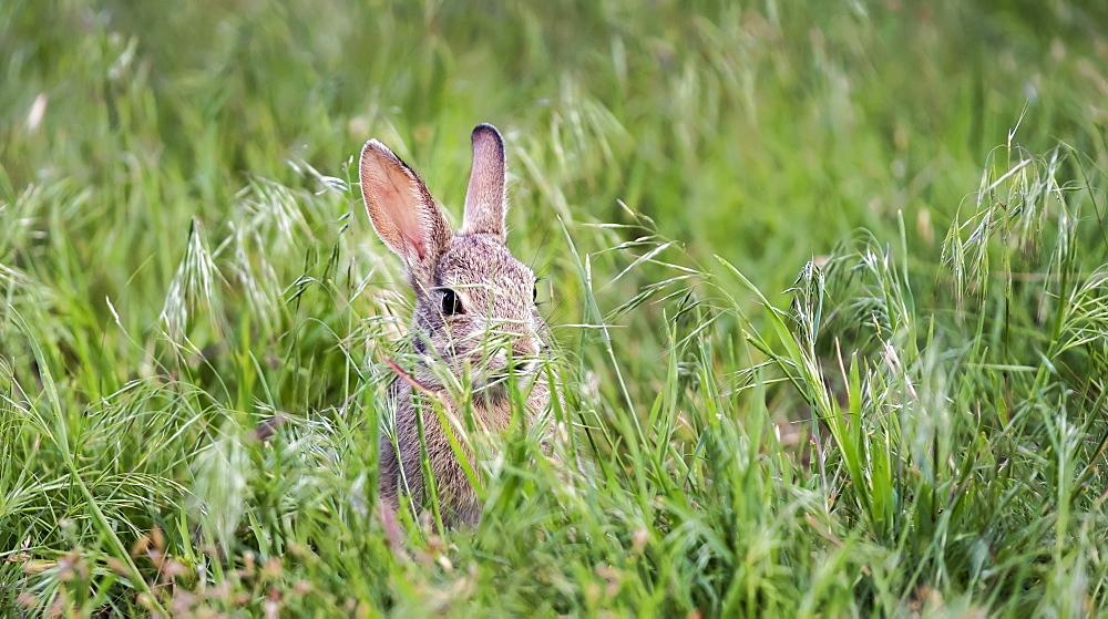 A wild rabbit, Eastern Cottontail (Sylvilagus floridanus), Denver, Colorado, United States of America