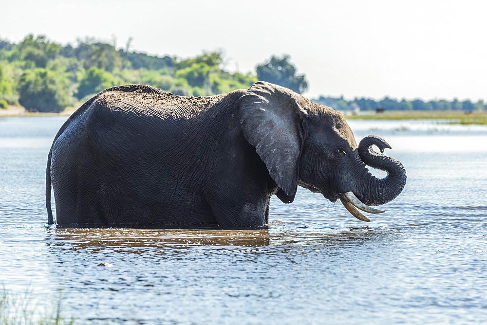 African Bush Elephant (Loxodonta africana) standing in river folds up trunk, Botswana