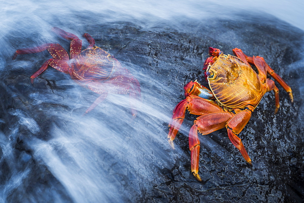 Two Sally Lightfoot crabs (Grapsus grapsus) splashed by wave, Galapagos Islands, Ecuador