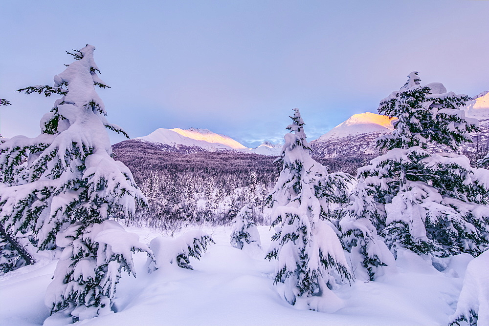 Deep snow covers a forest of spruce trees and warm sunset light illuminating snowy mountains in the background, Kenai Peninsula, South-central Alaska, Moose Pass, Alaska, United States of America