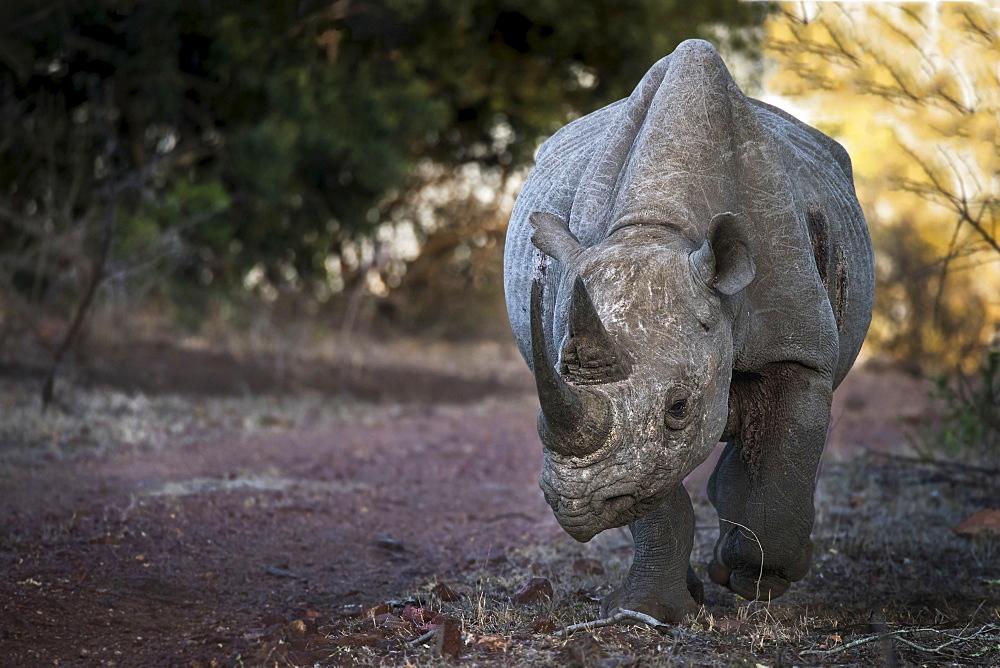 Black Rhinoceros (Diceros bicornis), Ethiopia