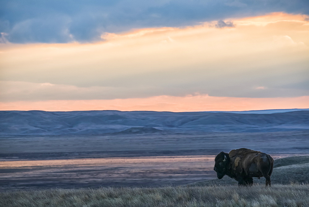 Bison (bison bison) grazing at sunset, Grasslands National Park, Saskatchewan, Canada
