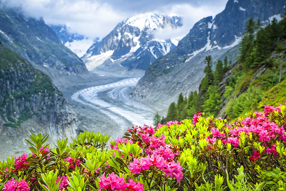 Alpenrose (Rhododendron ferrugineum) flowers over Mer de Glacier and Grandes Jorasses, Alps, France