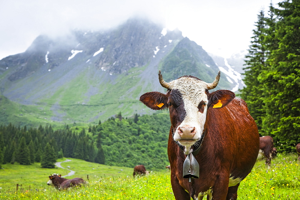 Cattle posing in a meadow of Val Montjoie with Aiguille de la Pennaz mountain in the background, Alps, France
