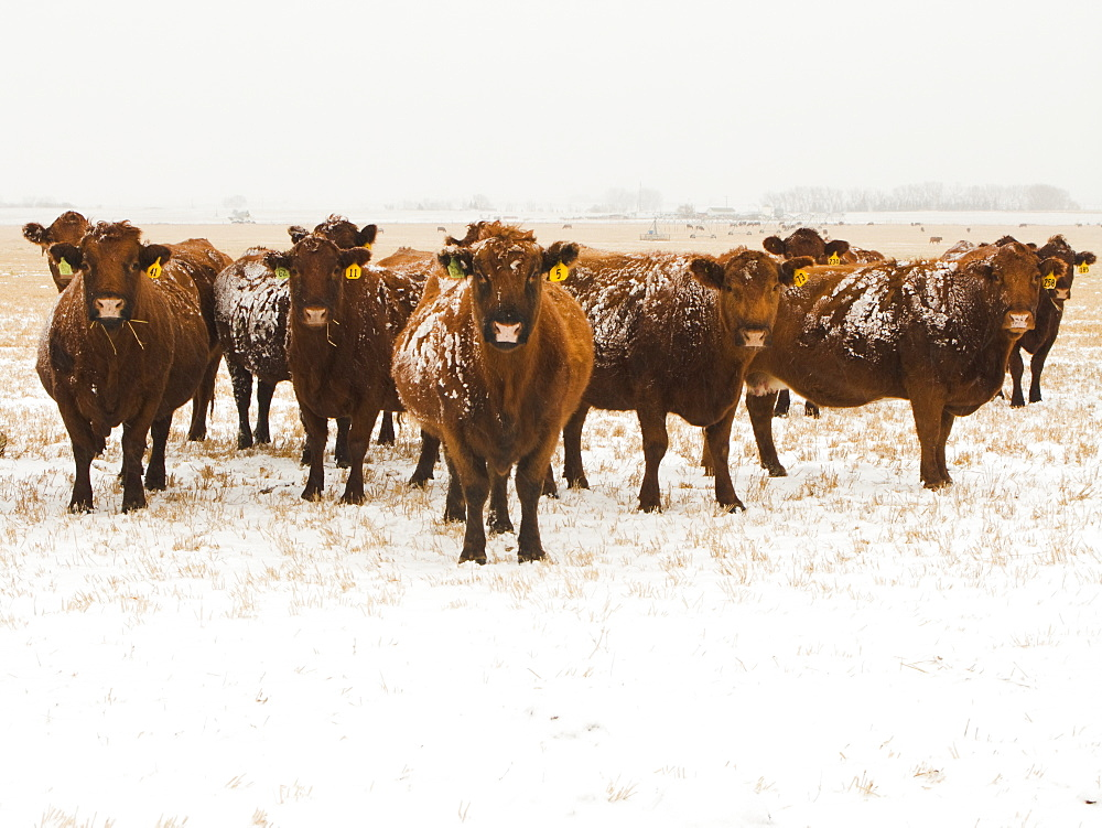 Livestock - Snow covered Red Angus beef cows on a snow covered stubble field during a light Winter snowfall / Alberta, Canada.