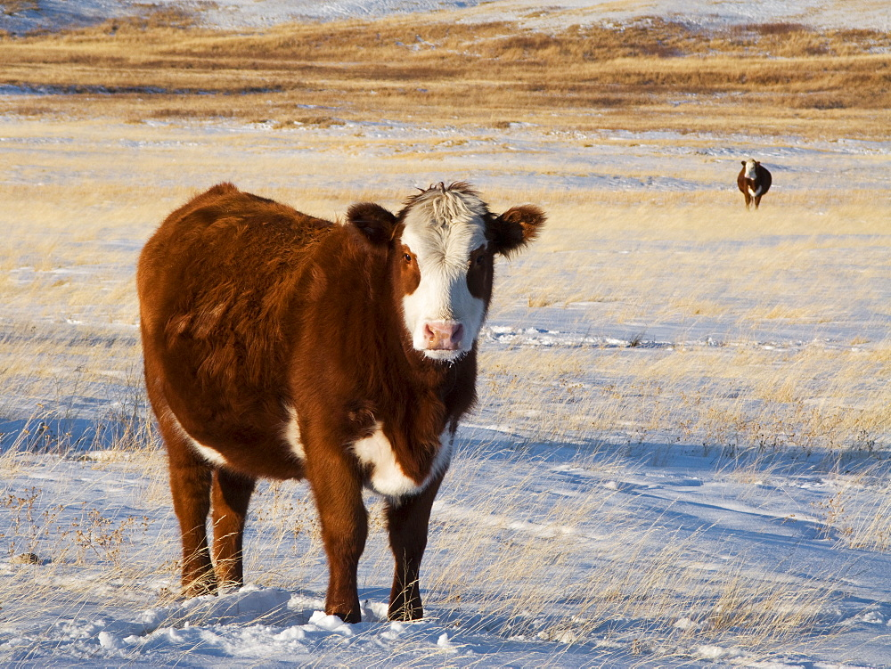 Livestock - Hereford/Red Angus-cross beef cow on a snow covered Winter native prairie pasture / Alberta, Canada.