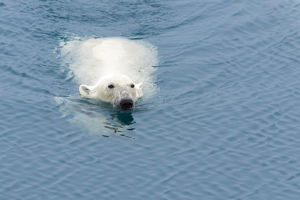 Polar Bear (Ursus maritimus) swimming, Svalbard Archipelago, Arctic, Norway, Europe - 1131-1152