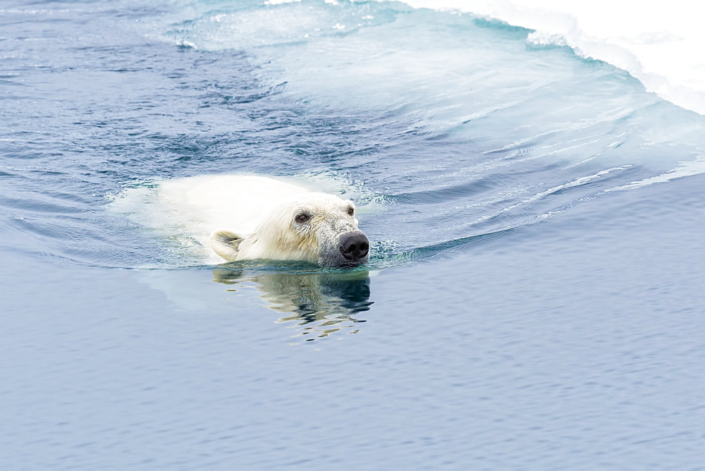 Polar Bear (Ursus maritimus) swimming through pack ice, Svalbard Archipelago, Arctic, Norway, Europe