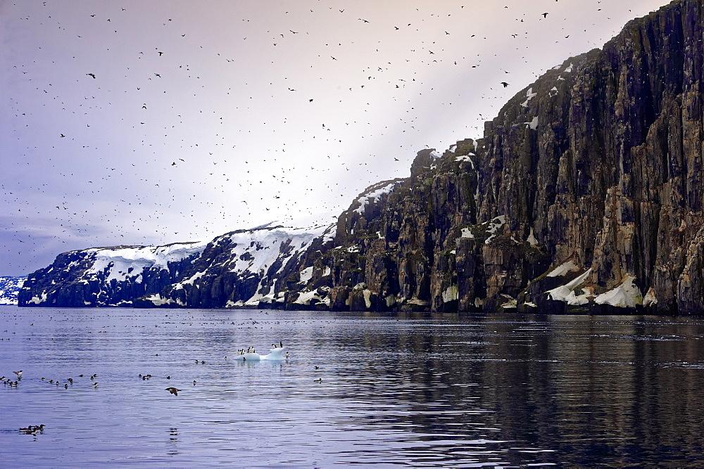 Thick-billed Murres (Uria lomvia) (Brunnich's guillemots) colony, Alkefjellet Hinlopen Strait, Svalbard archipelago, Arctic, Norway, Europe - 1131-1155