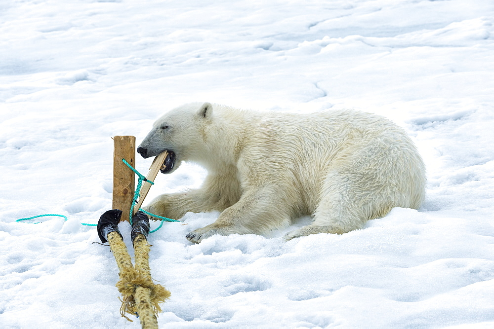 Polar Bear (Ursus maritimus) inspecting and chewing on the pole of an expedition ship, Svalbard Archipelago, Arctic, Norway, Europe - 1131-1158